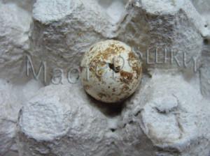 Дырочка в перепелином яйце копия